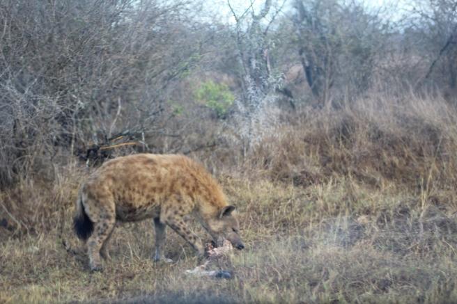 Hyena emerging