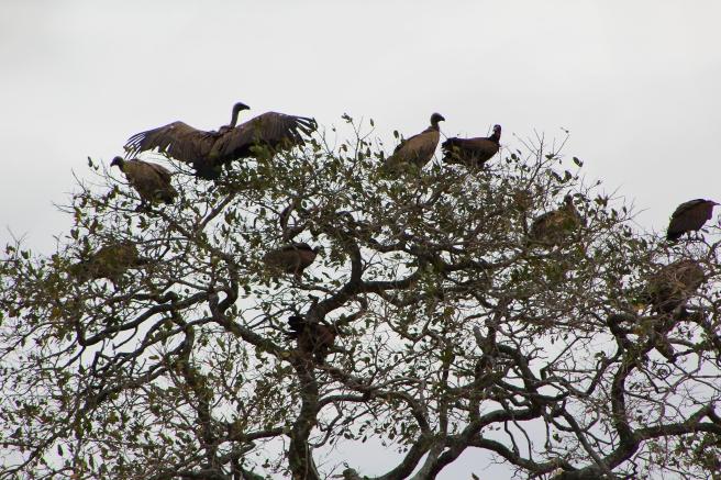 Vulture Spread Wings