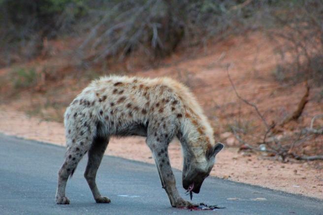 Hyena7
