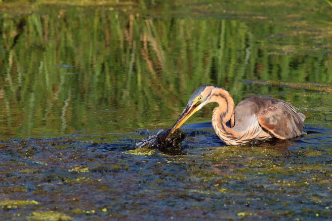 Purple Heron - Fishing1
