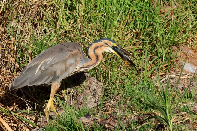 Purple Heron - Fishing4