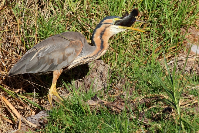 Purple Heron - Fishing5