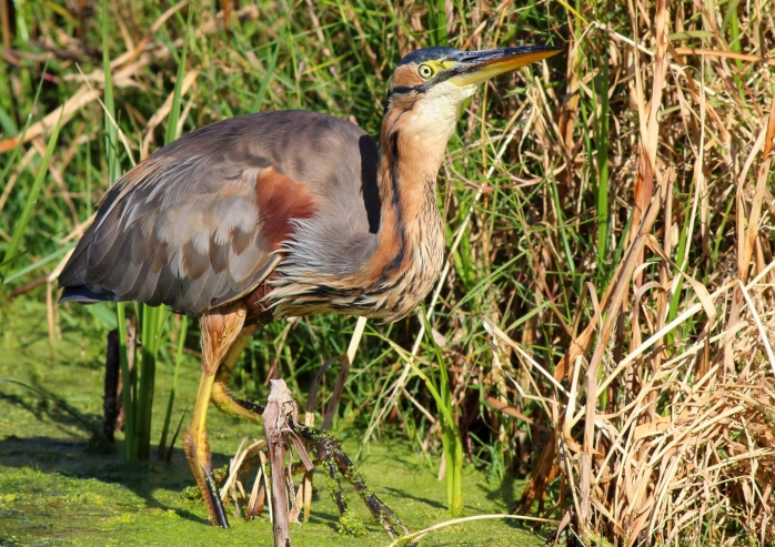 Purple Heron with Dragonfly4