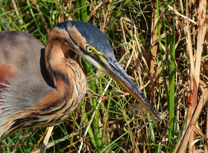 Purple Heron with Dragonfly5