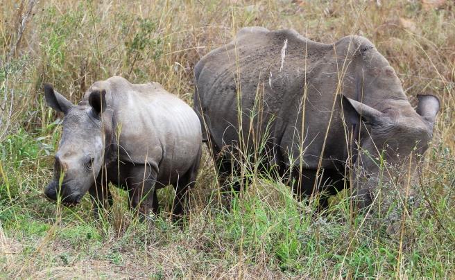 Rhino 300dpi2
