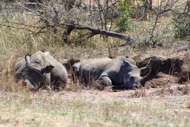 Rhino 300dpi3