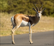 Image result for eland at Koeberg  nature reserve