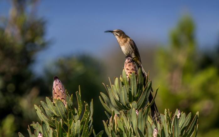 Cape_Sugarbird_-_HPBG-1[1]