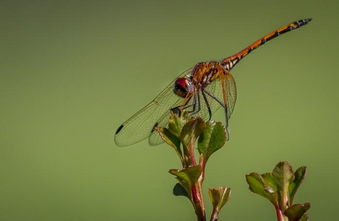 Dragonfly_-_HPBG-2[1]