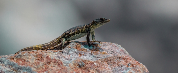 Girdled Lizard - Stony Point-1