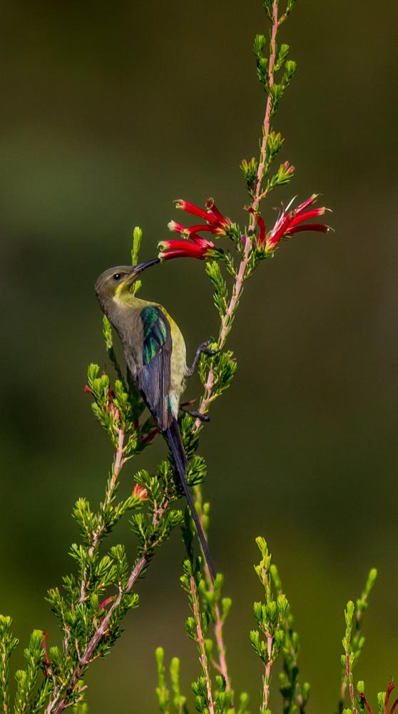 Sunbird_-_HPBG-3[1]