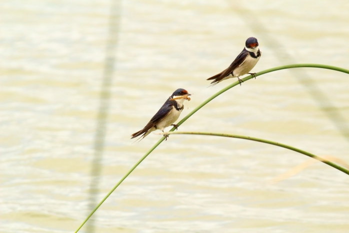 Swallow with Dragonfly2