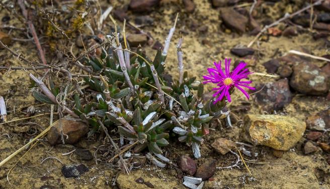 Tygerberg flower 3