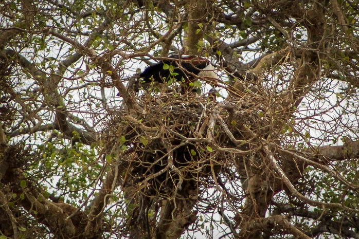 African Fish Eagle-1