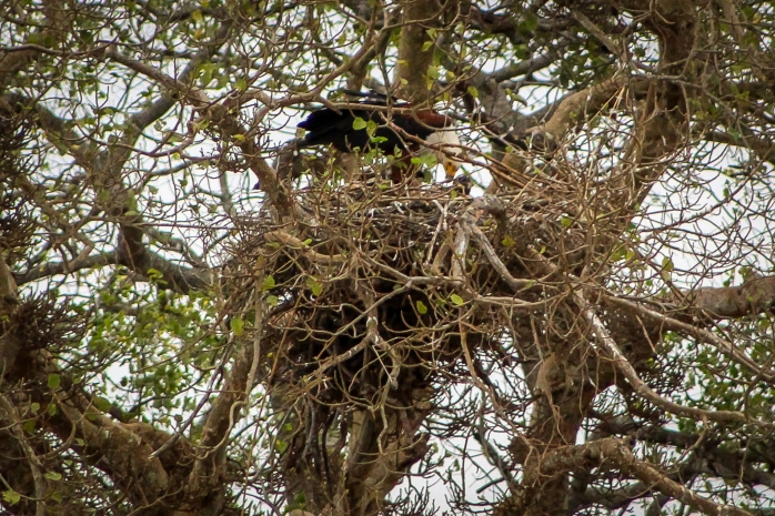 African Fish Eagle-2