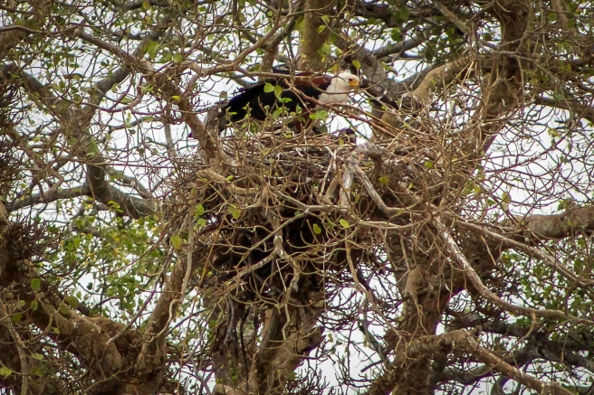 African Fish Eagle-3