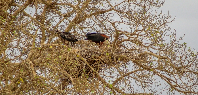 African Fish Eagle-4