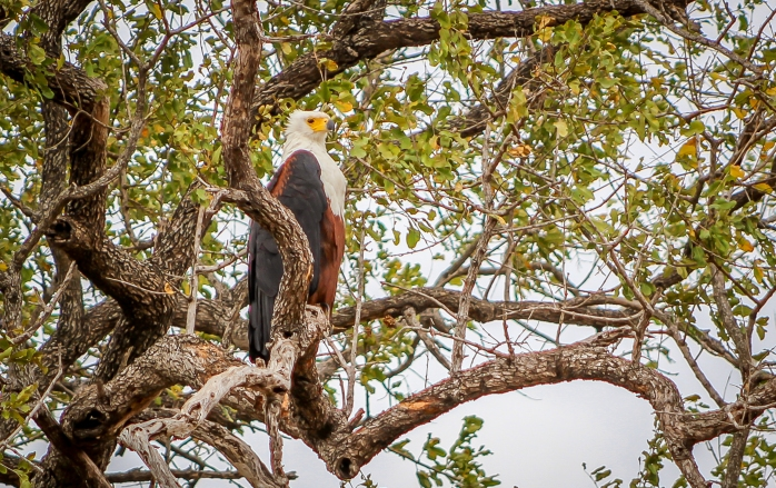African Fish Eagle-5
