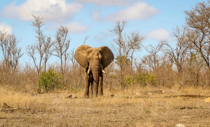 Elephant bush-1