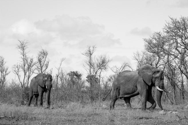 Elephant bush-3