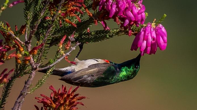 Kirstenbosch-13