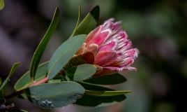 Kirstenbosch-24