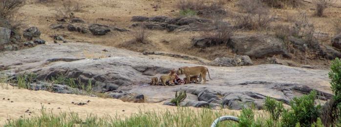 Lion Zebra-1