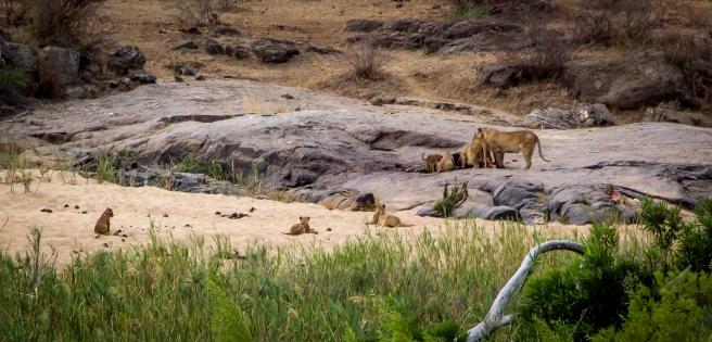 Lion Zebra-3