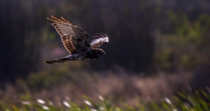 Black Harrier-1