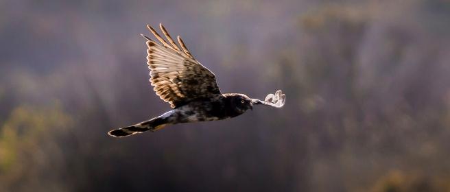 Black Harrier-2