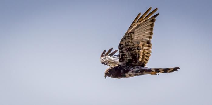 Black Harrier-4