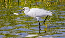 Egret Fishing-10