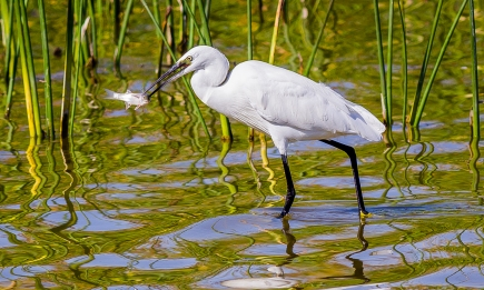 Egret Fishing-11