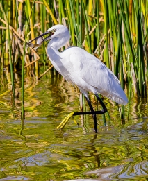 Egret Fishing-12