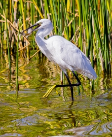 Egret Fishing-12