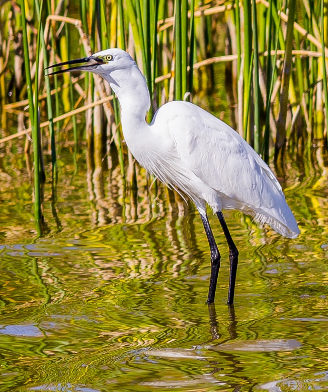 Egret Fishing-13