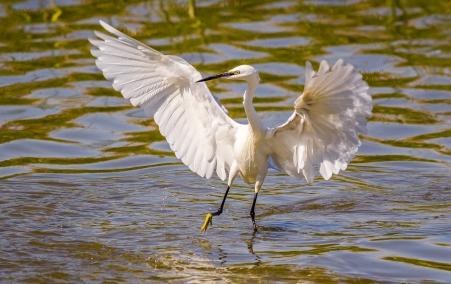 Egret Fishing-15