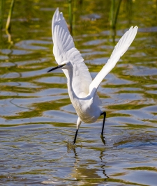 Egret Fishing-16
