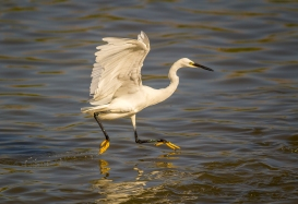 Egret Fishing-18