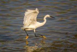 Egret Fishing-18
