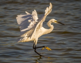 Egret Fishing-19