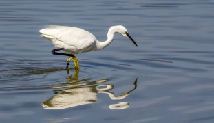 Egret Fishing-20