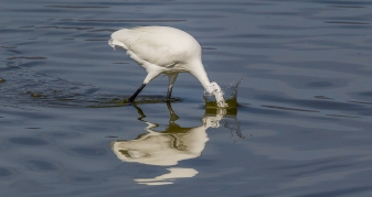 Egret Fishing-21