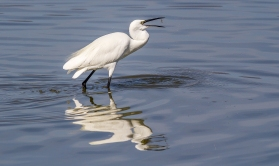 Egret Fishing-23