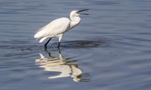 Egret Fishing-23