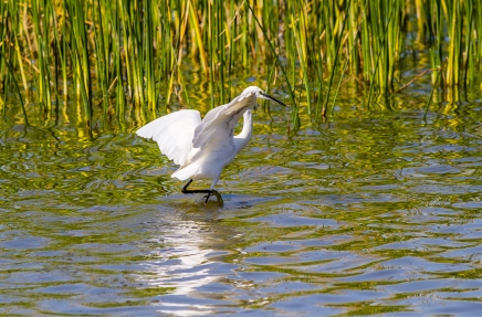 Egret Fishing-5