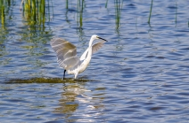 Egret Fishing-6