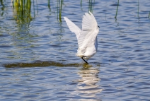 Egret Fishing-7