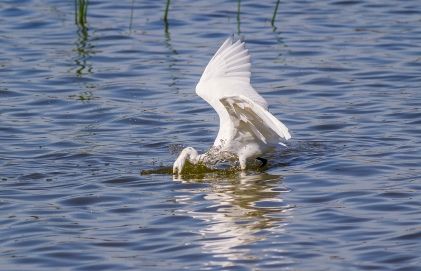 Egret Fishing-8