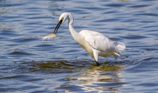 Egret Fishing-9